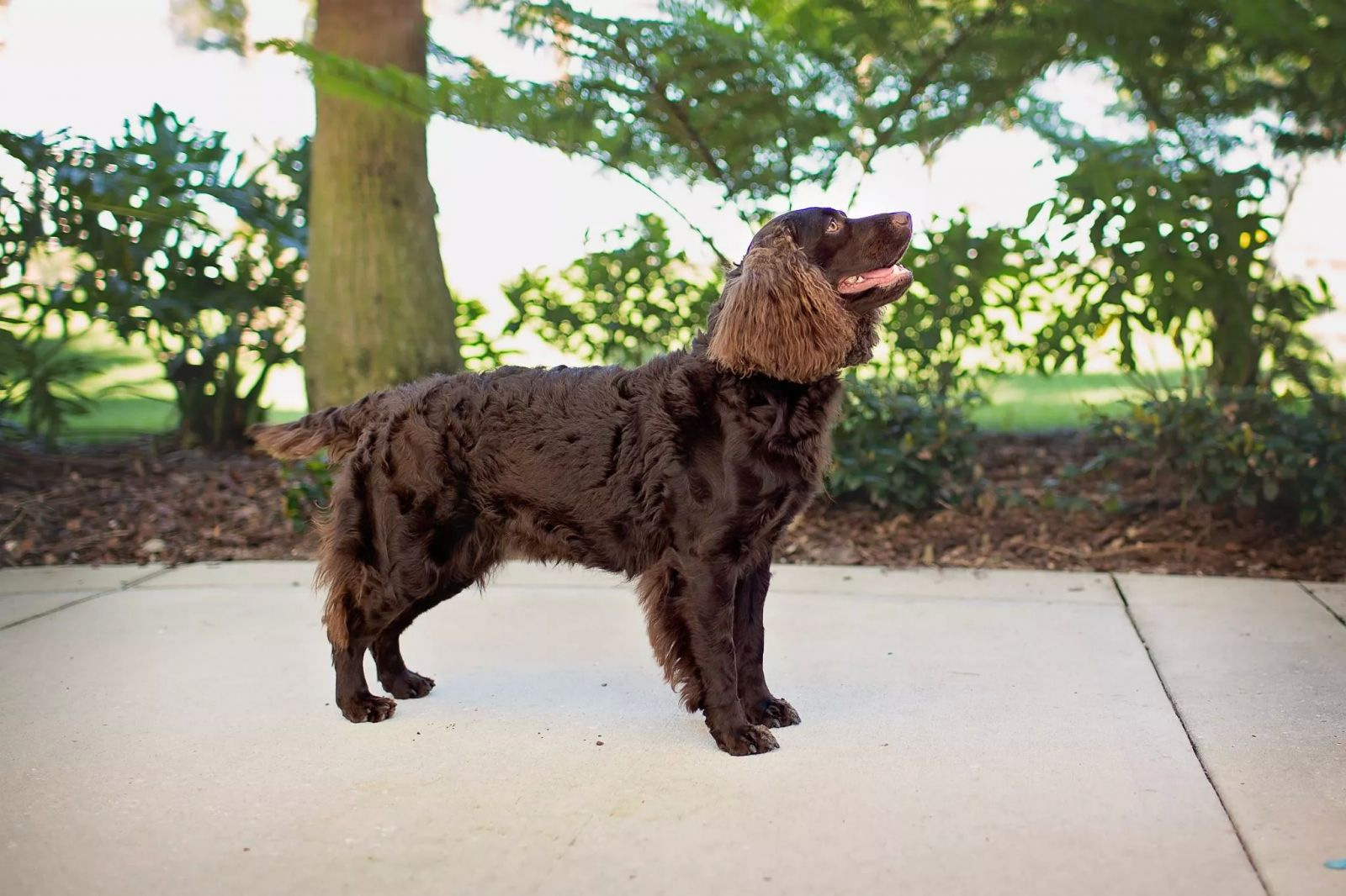 Wisconsin's State Dog, the American Water Spaniel