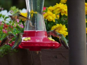 Rufus Hummingbirds